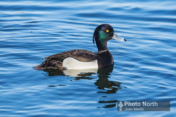 DUCK 05A - Tufted duck
