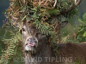 Red Deer Cervus elaphus, stag during rut, has cleared  floor of bracken to sit and has bracken stuck in antlers appearing as ...