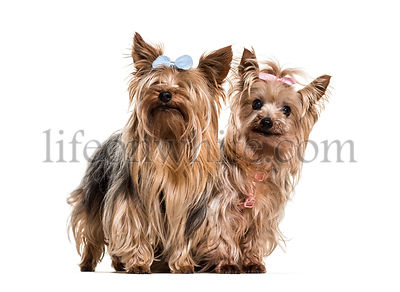 Yorkshire terriers wearing bows standing against white background
