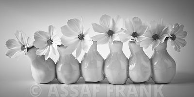 Cosmos flowers in vases