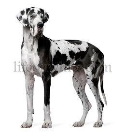 Great Dane Harlequin, 4 years old, standing in front of white background
