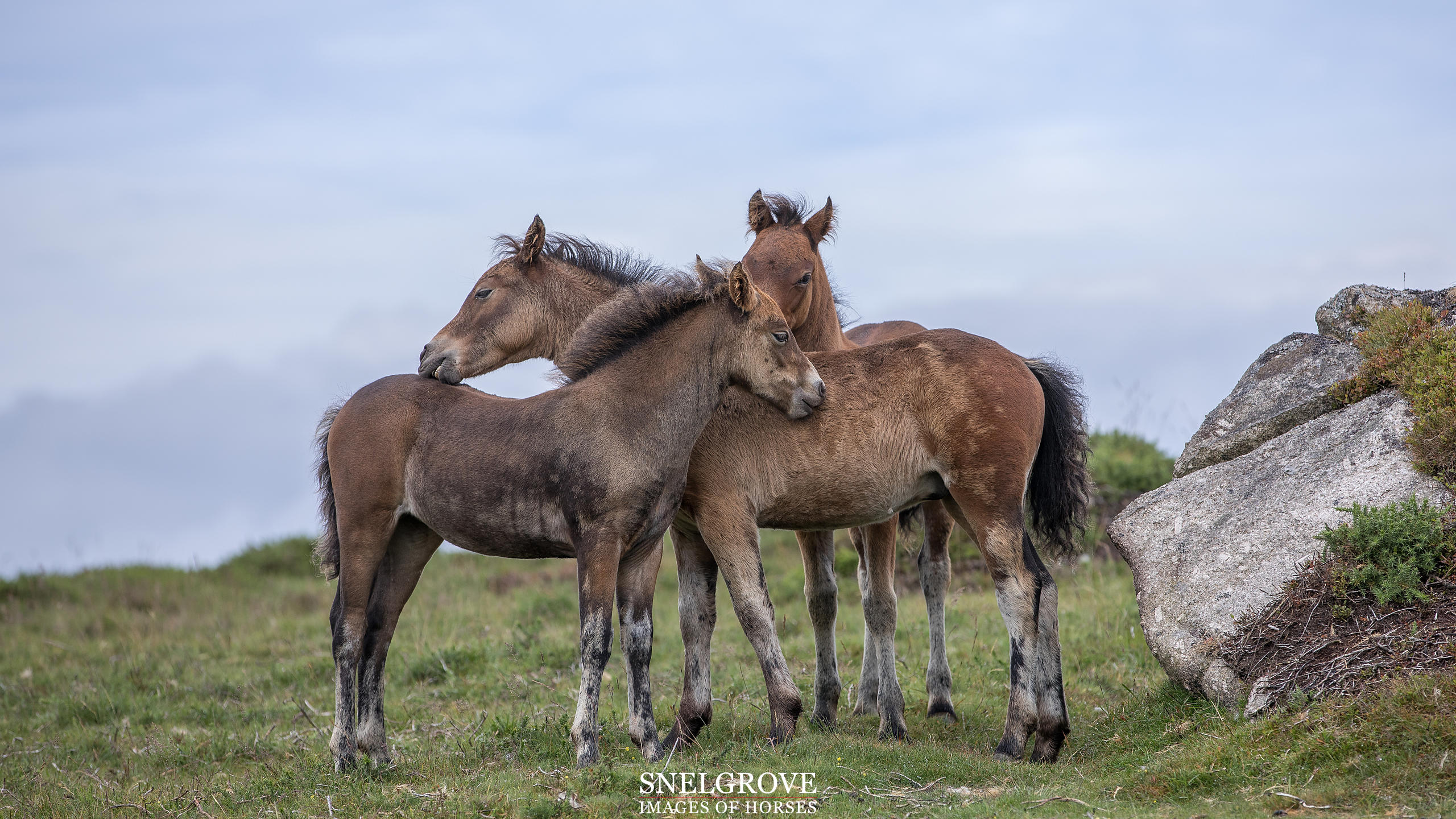 Dartmoor Foals Bonding