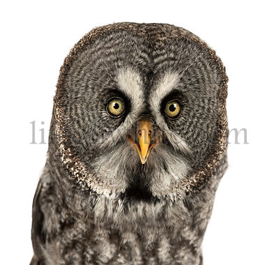 Close-up of a Great Gray Owl facing, looking at the camera, Strix nebulosa, isolated on white
