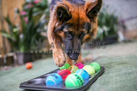 German Shepherd using paw to complete puzzle