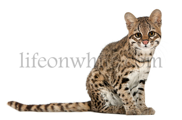 Oncilla, Leopardus tigrinus, 19 years old, sitting in front of white background