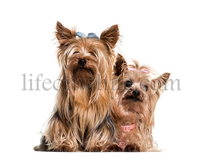 Yorkshire terriers wearing bows sitting against white background
