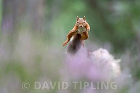 Red Squirrel, Sciurus vulgaris in Caledonian Pine Forest, Cairngorms National Park, Scottish Highlands late summer