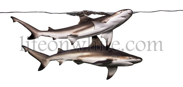 Two Blacktip reef sharks swimming at the surface, Carcharhinus melanopterus, isolated on white