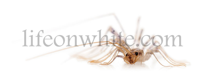 House centipede, Scutigera coleoptrata, in front of white background