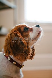 A close up of a profile of a young spaniel