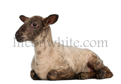 Lamb lying against white background