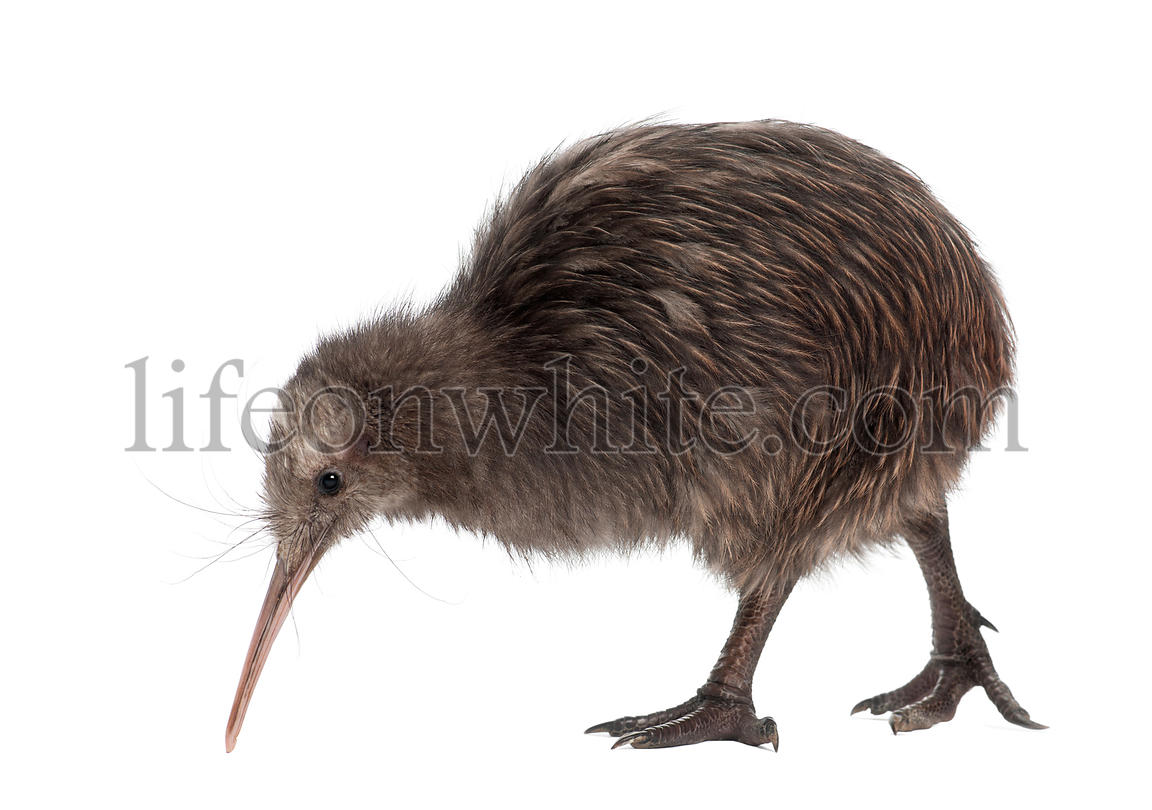 North Island Brown Kiwi, Apteryx mantelli, 5 months old, walking against white background