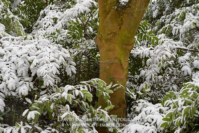 Image - Tree trunk and snow covered rhododendron leaves, Wood Hill Wood, Alva, Clackmannanshire, Scotland.