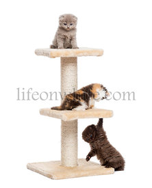 Three Highland fold or straight kittens playing on a cat tree, isolated on white