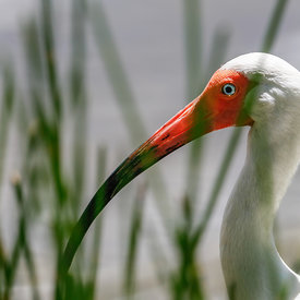 Hvít_Ibis_-_White_Ibis_in_Florida_-_emm.is-3