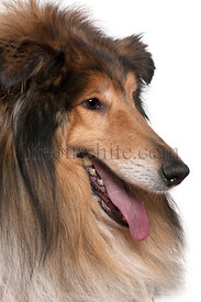 Close-up of Rough collie with tongue out, 5 years old