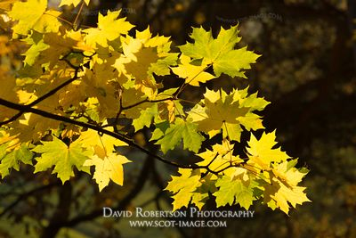 Image - Backlit Sycamore leaves.