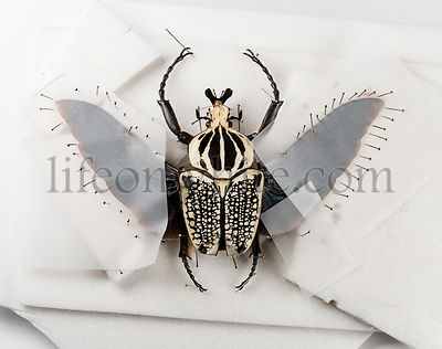Beetle Goliathus orientalis nailed, isolated on white
