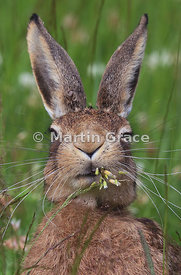 Gourmand European Brown Hare (Lepus europaeus) appearing to enjoy its food hugely, Cairngorm National Park, Scotland
