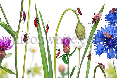 Collage of Scentless plant bugs, Corizus hyoscyami, on flowers, grass and plants in front of white background