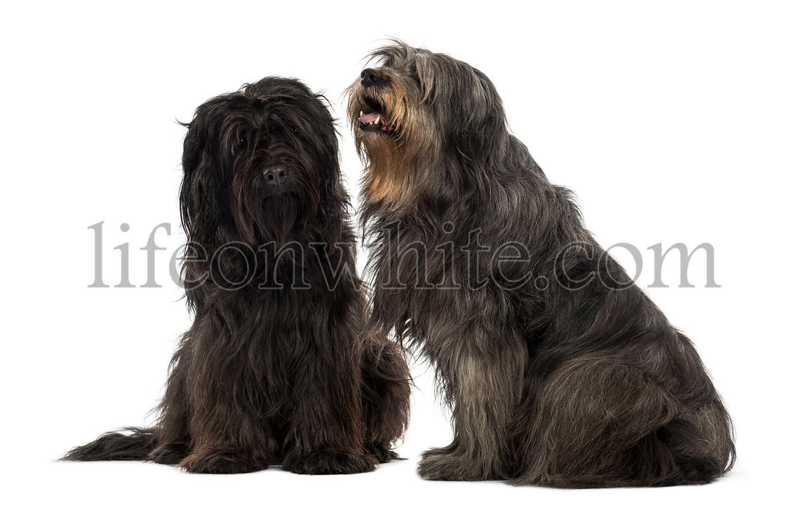 Couple of Catalan sheepdogs sitting together, panting, isolated on white