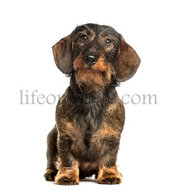 Dachshund sitting against white background