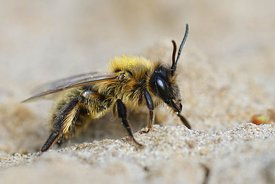 Closeup of the female of the chocolate or hawthorn mining bee , Andrena scotica