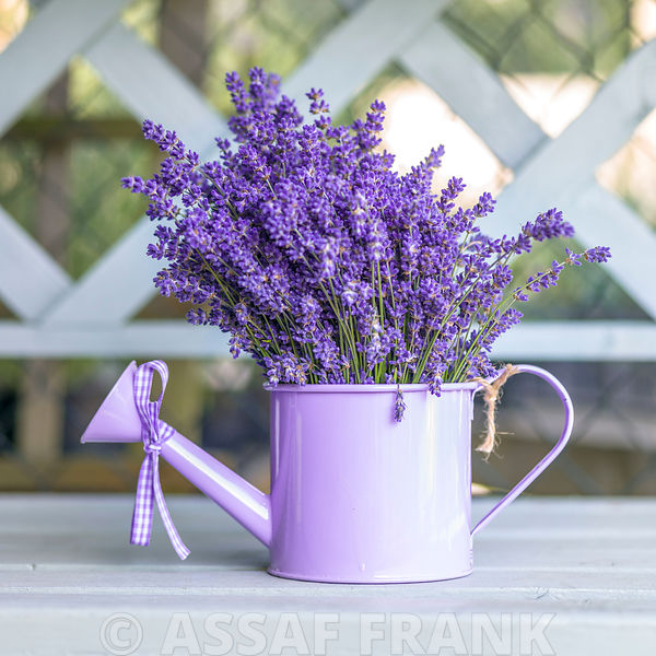 Watering can with Lavender flowers