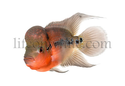 Living Legend, Flowerhorn cichlid, isolated on white