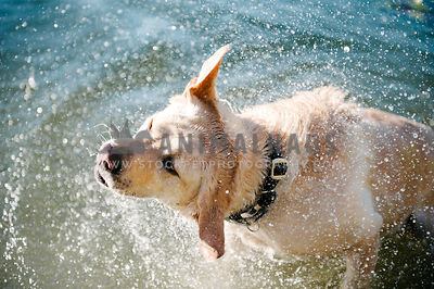 A yellow lab shaking off water while standing in the lake