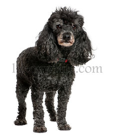 Old black poodle (12 yeras old)