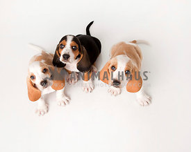 Baby basset Hounds puppies look up from the white floor with negative space for text
