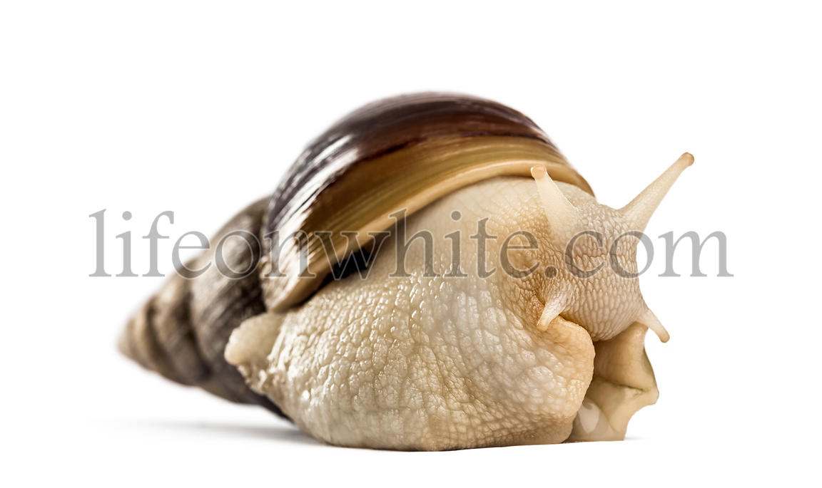 Crawling giant African snail, isolated on white