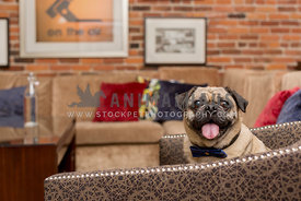 Happy pug sitting on chair in livingroom