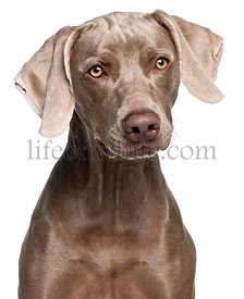 Close-up of Weimaraner, 12 months old, in front of white background