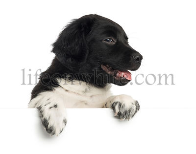 Close-up of a Stabyhoun puppy panting, leaning on a white board, isolated on white