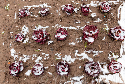 "Chicory (Cichorium intybus) ""Rossa di verona"" under the snow in a garden in winter, Lorraine, France∞Salade chicoree ""rossa d..."