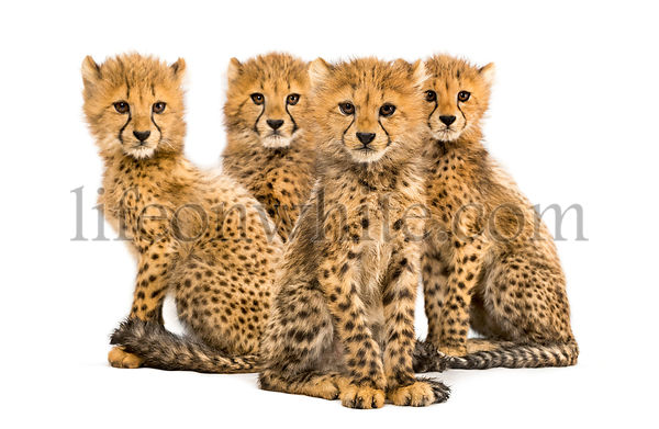 Group of a family of three months old cheetah cubs sitting together