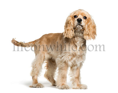 American Cocker Spaniel, 5 months old, in front of white background
