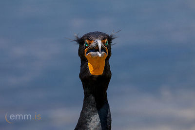 Skarfur_-_Portrait_of_a_Cormorant_-_emm.is-1