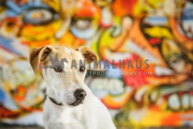 Jack Russel Terrier portrait inquisitive look