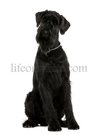 Giant Schnauzer, 1 year old, sitting in front of white background, studio shot