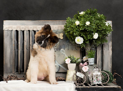 American Akita in front of a rustic background