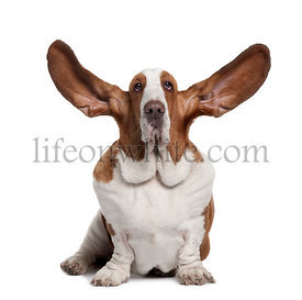 Basset Hound with ears up, 2 years old, sitting