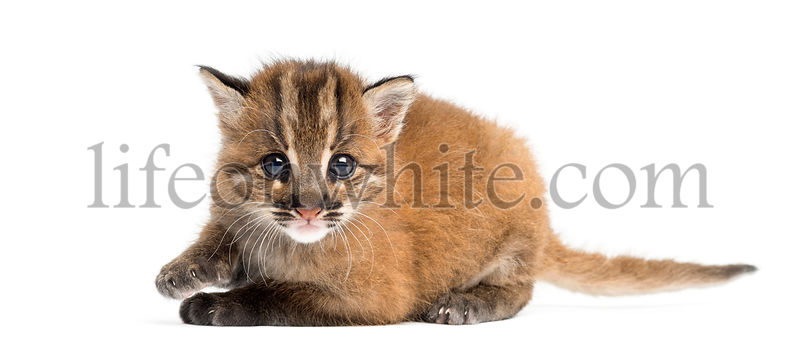 Asian golden cat lying, looking at the camera, Pardofelis temminckii, 4 weeks old