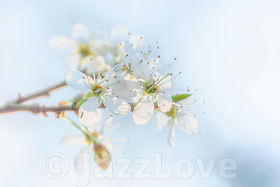 Springtime blossom.Twig with fresh, white flowers in spring.