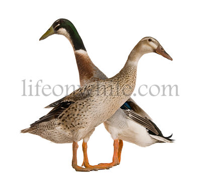 Male and female Indian Runner Duck, 3 years old, standing in front of white background