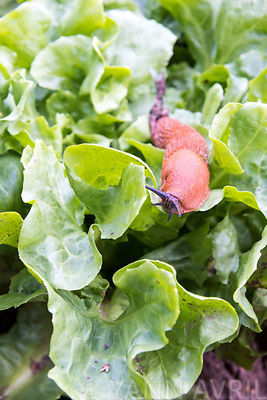 'Red slug' on a lettuce leaf in a kitchen garden