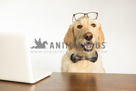 Dog in office wearing glasses and working on computer