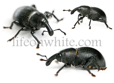 Composition of Beetles, Liparus dirus, in front of white background